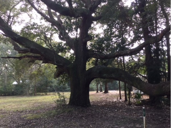 100+ year old Live Oak in Foley