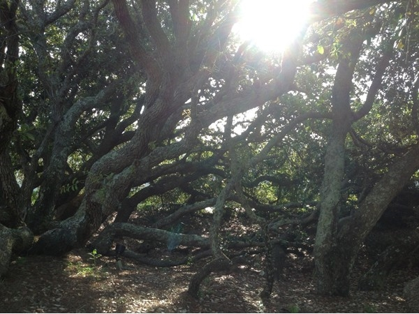 One of my favorite spots, a hidden grove of tangled trees at Phoenix East