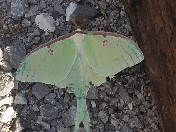 Spotted this beautiful Lunar Moth in Wetumpka