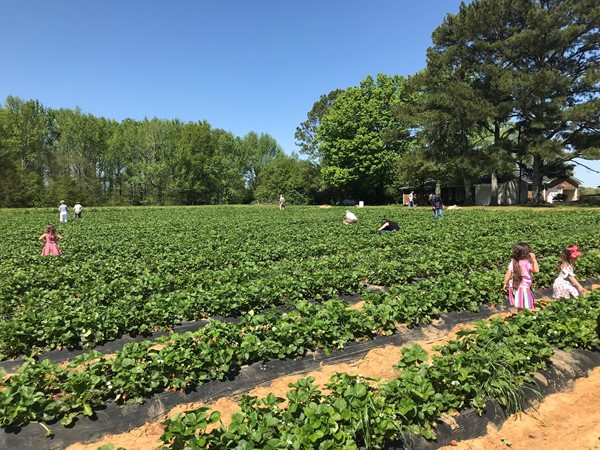 Picking strawberries at Brown Farms is a family favorite summer activity in New Market